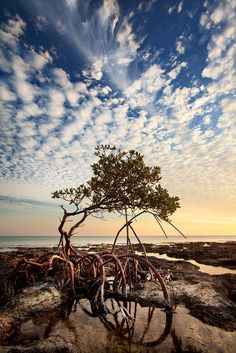 A lone Red Mangrove (Rhizophora mangle), shaped by the elements, enjoys a breezy winter afternoon, where time moves a little bit slower. Photo © copyright by Paul Marcellini.  Prints Available: http://www.paulmarcellini.com/photo/lifes-a-breeze/