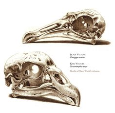 The Unfeathered Bird: An Illustrated History of Avian Anatomy   Brain Pickings