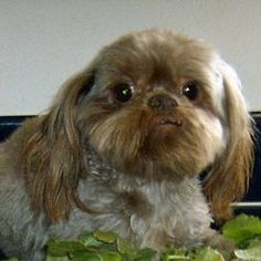 NOUGAT is an adoptable Shih Tzu Dog in Trufant, MI. My name is Nougat. I am 8 yrs old, weigh 12 lbs and am a very handsome liver Shih Tzu boy. I was born on May 27, 2003. I am a retired breeder. I am ...