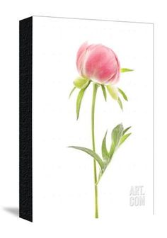 A Peony Photographic Print by Robert Llewellyn at Art.com