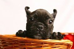 A wittle pup! #dogs #pets #FrenchBulldogs #puppies Facebook.com/sodoggonefunny