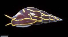 Molusco gastrópode parasita de lírio-do-mar