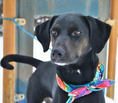 #KANSAS ~ Taylor is a Spayed 3yo Black Labrador Retriever / Pointer mix in need of a loving #adopter / #rescue at the SALINA ANIMAL SHELTER 329 N 2nd St  #Salina KS 67401 critters@salinaanimalshelter.org Ph 785-826-6535