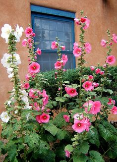 because i can't get enough of hollyhocks