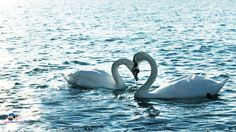 Love animals swans lakes two duck water bird (1920x1080, animals, swans, lakes, duck, water, bird)  via www.allwallpaper.in
