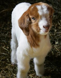Baby goat! There is nothing in the world cuter than these!