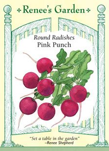Radish, Pink Punch: keep moisture even/consistent, sow 2-3 inches apart, plant every 7 days for a continuous supply