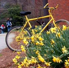 vintage yellow bicycle - in yellow daffodils