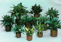 These plants need low-light, low-humidity. Aglaonema, Dieffenbachia.  As tough and durable as they are good-looking, these popular accent plants adapt readily with minimal care to almost any indoor environment.   BOTANICAL/COMMON NAMES   A - Aglaonema 'Treubil', Ribbon Aglaonema   B - Aglaonema 'Romana', Bancock   C - Dieffenbachia 'Tropic Snow', Tropic Snow Dumb Cane   D - Aglaonema commutatum, Chinese Evergreen   E - Dieffenbachia 'Camille'   F - Aglaonema 'Queen Juliana'   G - Aglaonem