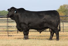 pictures of beef cattle and dairy cattle | Beef Cattle Breeds