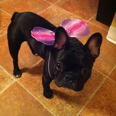 French Bulldog in Butterfly costume ; )