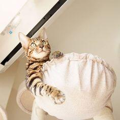 Botchan I'm back from work.  #cat #catsofinstagram #cats #catstagram #instacat #catlover #catoftheday #bengal #bengalcat #oz #ねこ #猫 #ねこ部 #ねこすたぐらむ #猫部