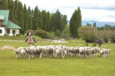 Sheep being herded on a farm in El Calafate, Patagonia, Argentina -  ..author: Adriana Semensato                 ...commons.wikimedia.org