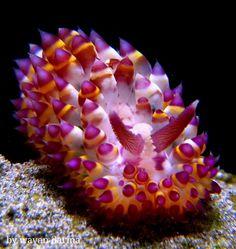 Janolus savinkini Nudibranch. by Wayan Darma in MarineBio fb