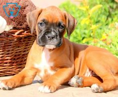Peggy | Boxer Puppy For Sale | Keystone Puppies Boxer Puppies For Sale, Pitbulls, Health, Animals, Animales, Health Care, Animaux, Pitt Bulls, Salud