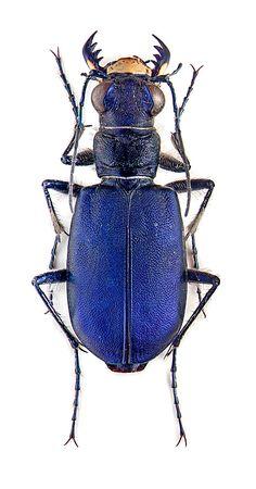 cicindela coerulea ~ETS #bug #blue #gorgeouscreature