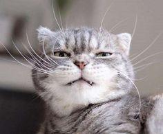 スコティッシュフォールドのココくんは、とっても表情豊かな男の子♡ 中でも貫禄溢れる変顔は、かわいくもありかっこよくもあり、面白くもあるのです(´艸`*)! | にくたらカワイイ♡ 表情が豊かすぎるニャンコが見せてくれた、変幻自在な変顔10選