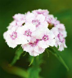 Harjaneilikka Rose, Garden, Flowers, Plants, Pink, Garten, Lawn And Garden, Gardens, Plant