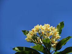 4/26(火)晴れ 温度29.3℃、湿度66%。 プルメリアが元気よく咲いています。 青空が良く似合う♪
