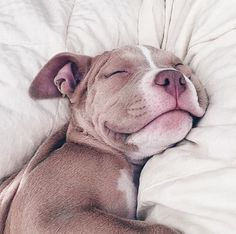 American Pitbull – All You Want to Know About This Breed – Pets and Animals Cute Baby Animals, Animals And Pets, Funny Animals, Sleepy Animals, Cute Puppies, Cute Dogs, Dogs And Puppies, Doggies, Pit Bull Puppies