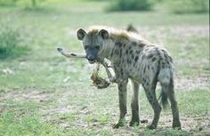 spotted hyena - Google Search