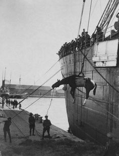 One of the millions of horses used during the course of the war is winched ashore at Thessaloniki, Greece.http://www.theguardian.com/lifeandstyle/gallery/2014/sep/03/the-animals-that-served-in-the-first-world-war-in-pictures