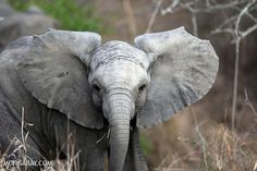 elephant poached on facebook   Elephant in South Africa. Photo by Rhett A. Butler.