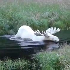 Rare white Moose in Sweden. Interesting Animals, Unusual Animals, Animals Beautiful, Animals Amazing, Strange Animals, Cute Little Animals, Cute Funny Animals, Rare Albino Animals, Cute Animal Videos
