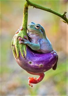 Whites tree frog on eggplant by Hendy Mp Funny Frogs, Cute Frogs, Animals And Pets, Funny Animals, Cute Animals, Reptiles And Amphibians, Mammals, Beautiful Creatures, Animals Beautiful