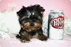 33 Best Yorkshire Terrier Dogs & Puppies images in 2013