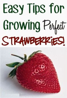 Easy Tips For Growing Perfect Strawberries!