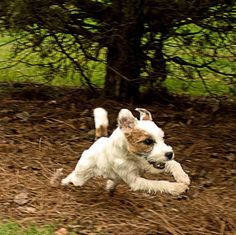 Live like someone left the gate open.  (JRT owners please don't leave the gate open!)