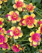 High Heat Flowers For Hot Summer Areas - All of those empty spaces in your planting beds? Replace your fried flowers with these 25 High Heat Flowers For Hot Summer Areas! Portulaca Grandiflora, Portulaca Flowers, Zinnias, Deco Floral, We Are The World, My Secret Garden, Flower Beds, Dream Garden, Lawn And Garden