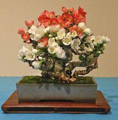 A  small size Toyo Nishiki Japanese flowering quince, Chaenomeles speciosa 'Toyo Nishiki' with multiple colored flowers. http://valavanisbonsaiblog.com/author/valavanis/