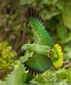 Perroquet en vol. Parrot in flight Pretty Birds, Beautiful Birds, Animals Beautiful, Exotic Birds, Colorful Birds, All Birds, Love Birds, Amazon Parrot, Parrot Bird