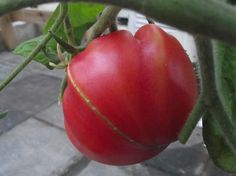 Prudens Purple heirloom tomato at The Nitty Gritty Potager