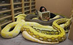 There are four species of anacondas. Anacondas are a type of boa. The largest anaconda species, and the only one considered to actually be dangerous, is the green anaconda. Pretty Snakes, Cool Snakes, Colorful Snakes, Beautiful Snakes, Cute Reptiles, Reptiles And Amphibians, Reticulated Python Morphs, Prehistoric Pets, Serpent Animal