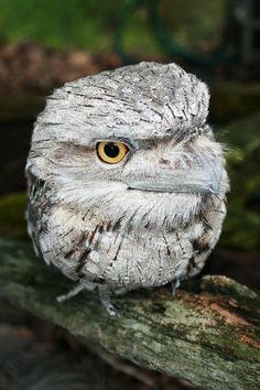 Tawny Frogmouth - nightjar - Australian nocturnal owl.