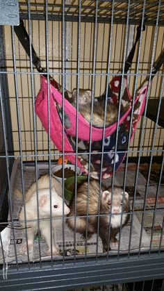 Meet Lestat, Louis, and Claudia, the 3 lovely ferrets! Claudia, the darker colored one, is the only female of the group. They are all around 2 years old and super playful. If you love ferrets, you should come check them out today between 11 am and 5 pm, along with our other adoptable animals that are seeking their forever homes. - CHAMPAIGN COUNTY HUMANE SOCIETY - www.cuhumane.org - PINNED 3/17/16