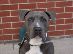 ~~BEAUTIFUL 2 yr old little girl TO BE DESTROYED 06/19/14~~ Brooklyn Center -P  My name is MISSY. My Animal ID # is A1002275. I am a female gray and white pit bull mix. The shelter thinks I am about 2 YEARS   I came in the shelter as a STRAY on 06/06/2014 from NY 11422, owner surrender reason stated was STRAY. I came in with Group/Litter #K14-180159.