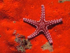 red sea star - The Most Beautiful Starfish In The World