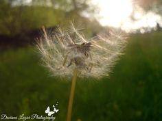 #dandelion