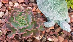 """Google+  Stunning Succulent...""""Chocolate Ruffles""""! Echeveria!  'With a name like Echeveria 'Chocolate Ruffles' what else could this plant be but delicious? The very pretty spoon shaped foliage forms a loose rosette of purple and mauve mottled with pale cocoa colours. Paler green-blue new foliage forms from the center. The edges of each leaf ruffled as the name suggests.' Thats from Drought Smart Plants website! Thank you!"""