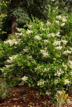 Daphne 39 eternal fragrance 39 daphne x transatlantica for Evergreen pflanzen