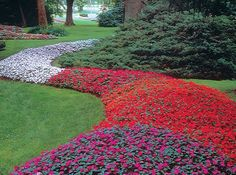 Clusters of impatiens can be breathtaking, as they are here. For now, though