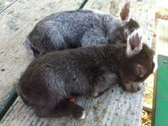 Gorgeous baby goats <3
