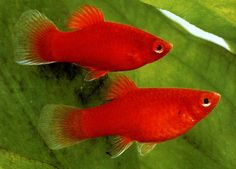 Red platy fish (I had a runt, he was adorable!)