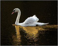 Mute swan - Although beautiful, it's an invasive species here and quite aggressive.  Still a favorite, though.