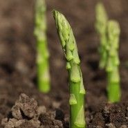 Asparagus Spears Garden -- Tips on growing asparagus