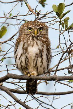 Pearl Spotted Owlet - Botswana, Africa